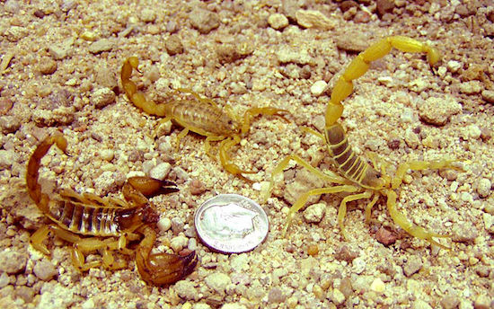 Escorpiões causam a morte de até 2 mil pessoas todos os anos. Pequenos e venenosos, eles podem se esconder em sapatos, frestas, buracos e entulhos enquanto aguardam a próxima vítima.