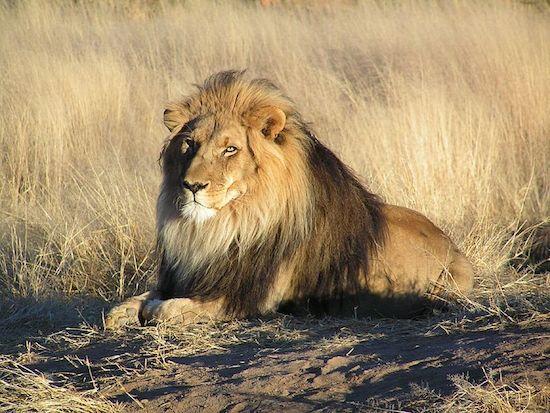 Não é por acaso que o leão é o rei da selva. Com uma combinação de agilidade, força e sentidos aguçados, eles são feitos para caçar. Em alguns momentos, a caça pode ser um ser humano. Mais de 100 pessoas morrem por ataques de leões todos os anos.