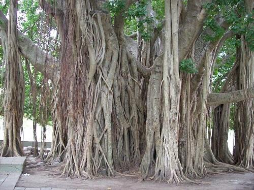 A figueira de bengala é típica de Bangladesh, Índia e do Sri Lanka. As raízes podem crescer tanto que se tornam parecidas com o tronco principal.