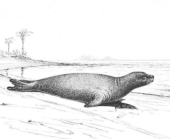 Foca-monge-do-caribe (Monachus tropicalis) - extinta em 1932.