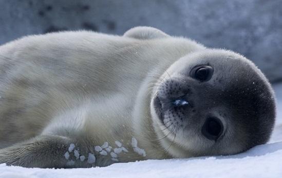 Os bigodes das focas têm uma função muito além da estética - servem para perceber mudanças na água e notar a presença de um peixe, mesmo que distante.