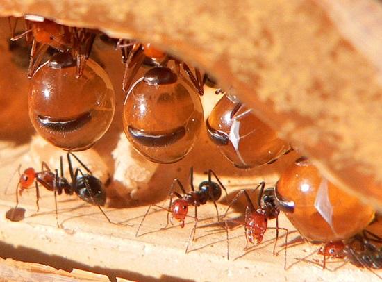 Sem predador nas cidades, as formigas se multiplicam aos milhões. Sempre que sua cozinha estiver infestada de formigas, procure atacar o ninho, entre a argamassa e os azulejos da área atingida.
