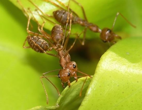 As formigas tecelãs australianas trabalham em conjunto para construir ninhos a partir de folhas. Nem as lavas são poupadas do processo: a seda que produzem serve para selar o abrigo.