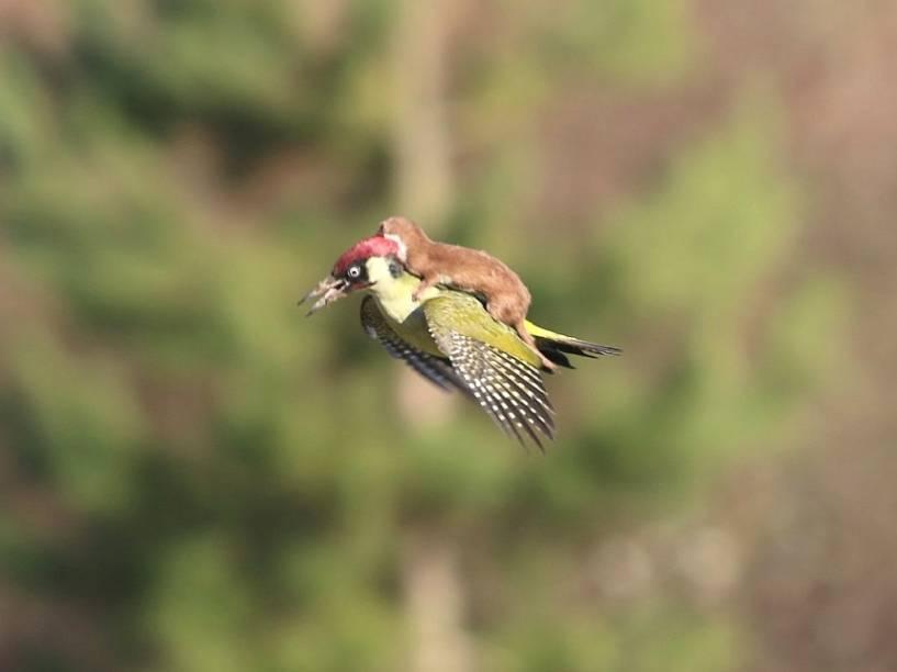 A imagem de um pica-pau carregando um furãofoi feita num parque em Londres, em março, pelo fotógrafo amador Martin Le-May. A dupla aterrissou perto do fotógrafo, que disse ter temido pelo pica-pau.