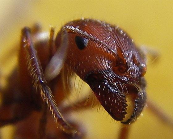 Elas já formavam a sociedade mais evoluída da Terra há cerca de 10 milhões de anos. São fortes, espertas e trabalham em grupo melhor que nós. Conheça alguns tipos exóticos de formigas.