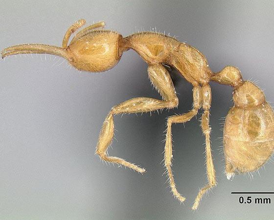 PRÉ-HISTÓRICA - A Austrália tem uma formiga-dinossauro, mas o nome é errôneo. Os cientistas que a descobriram acharam que era uma espécie de 40 milhões de anos atrás. Não era. Mas a <i>Martialis heureka</i> convivia com dinossauros - e ainda existe. Formigas duram eras. Poucos seres combinam tão bem a capacidade de influenciar o ecossistema com a habilidade de se espalhar. Na biologia, o nome disso é sucesso.