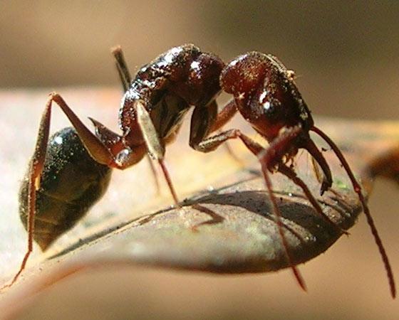 """SUPERFORTE - As formigas <i>Odontomachus</i> têm um pelo supersensível entre suas mandíbulas. Ele funciona como um radar para dar o bote. As mandíbulas ficam abertas, mas fecham violentamente quando qualquer coisa encosta no pelo. A velocidade da mordida pode chegar a 230 km/h. """"Se o objeto for duro, tipo um pedaço de madeira ou pedra, a formiga é arremessada para trás devido à força que ela faz"""", diz o entomólogo Ricardo Solar."""