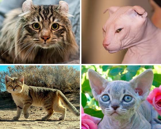 Os bichanos conquistaram a Internet com sua fofura e hábitos engraçados. Essa lista reúne algumas raças inusitadas, que a gente não vê por aí todo dia. Surpreenda-se com a variedade de gatos que existem mundo afora.