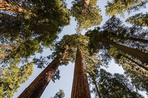 Uma das mais famosas árvores dessa lista, a Sequoia Gigante é a maior árvore do planeta. Ela pode chegar perto dos 100 metros de altura e viver milhares de anos.