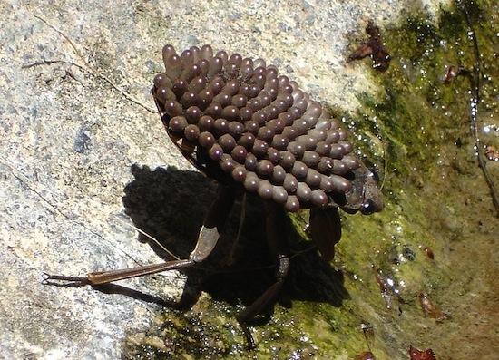 <i>Kirkaldya deyrolli</i> - Esse é um dos maiores artrópodes do mundo, podendo chegar a 15 centímetros. Eles se alimentam de pequenos peixes, anfíbios, cobras e tartarugas e possuem uma das mordidas de insetos mais doloridas de todo o mundo. O macho chaga a carregar 700 ovos em suas asas.