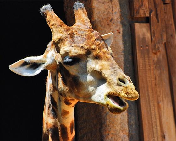 A girafa não tem cordas vocais, portanto você nunca vai conseguir imitar o som que elas fazem. Elas se comunicam vibrando o ar em volta de seus pescoços.