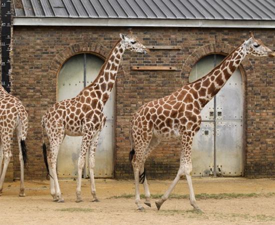 GIRAFA - É o animal mais alto do mundo. Pode alcançar 5,5 metros de altura.
