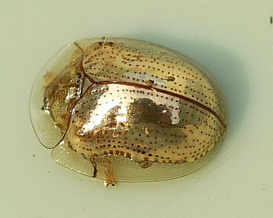 <i>Charidotella sexpunctata</i> - Esse besouro natural da América do Norte possui um lindo tom de dourado. Quando retirado do seu habitat natural, ele rapidamente perde sua cor e adquire uma tonalidade marrom. Isso acontece porque a cor vem de uma camada líquida formada pelo orvalho das plantas nas quais ele vive.