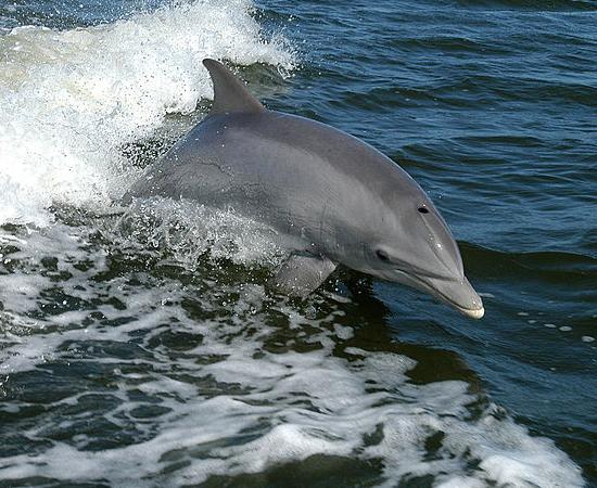 8º LUGAR - GOLFINHO NARIZ DE GARRAFA. Cetáceos costumam ter pênis compridos por causa da dificuldade de copular na água. Comparado com o tamanho do seu corpo, o pênis do golfinho nariz de garrafa pode não parecer muito grande - mas os 30 cm não deixam de ser de respeito. O órgão é retrátil e se esconde em uma cavidade abdominal.