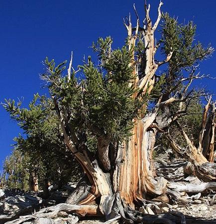 Esse pinheiro é bastante comum nos Estados Unidos e no Canadá. E eles estão lá há muito tempo - uma árvore dessas pode viver até 5 mil anos!