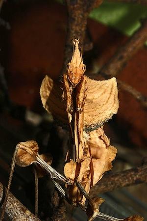 <i>Idolomantis diabolica</i> - Conhecido como o Rei dos Louva-a-Deus, essa espécie é famosa por seu tamanho e beleza e também por imitar uma flor.