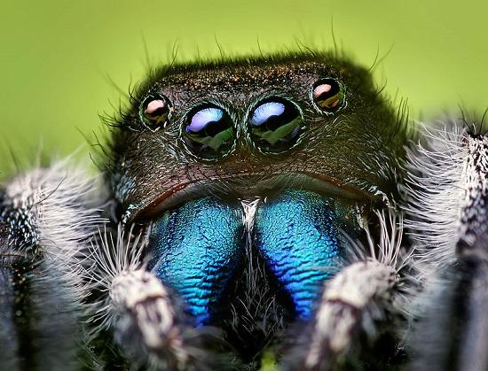 Aranhas-saltadoras