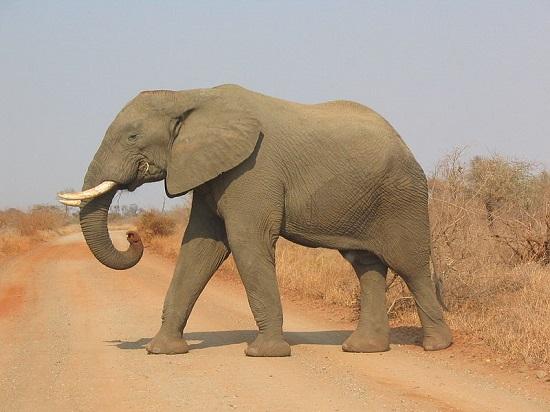 Destino de muitos turistas que passam pela África do Sul, o Kruger Park é uma das maiores reservas ambientais de todo o continente africano. Turistas visitam o local para ver os animais que vivem ali.
