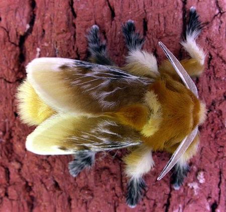 <i>Megalopyge opercularis</i> - Na fase de larva, esse animal possui diversos pelos que parecem macios e sedosos, mas na verdade carregam um poderoso veneno. Quando se torna uma mosca, ela ainda carrega essa bizarra aparência peluda.