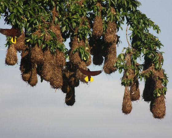Já os pássaros Montezuma preferem usar plantas trepadeiras na construção de seus ninhos, que são agrupados em colônias para proteger os ovos dos macacos.