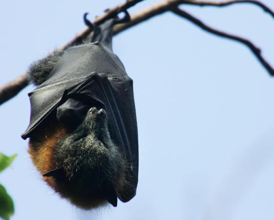 Dizem que os morcegos sempre viram para a esquerda quando vão sair de uma caverna. Isso é um mito. Mas há uma outra verdade curiosa sobre esses mamíferos: os ossos das patas traseiras dos morcegos são tão finos que nenhuma espécie é capaz de caminhar. Ainda bem que eles têm asas, né?
