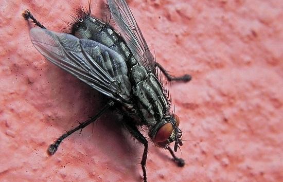 Elas são chatas, principalmente quando não deixam os humanos em paz, como durante um churrasco no quintal de casa. Uma mosca doméstica vive entre 10 e 25 dias. Durante esse período, põe algumas centenas de ovos.
