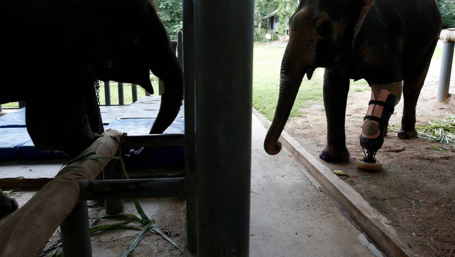As pernas especiais de Mosha e Motola vão se multiplicar: o santuário onde vivem está prestes a abrir uma fábrica de próteses, para ajudar outros elefantes que passaram por acidentes parecidos com seus sapatos gigantes.