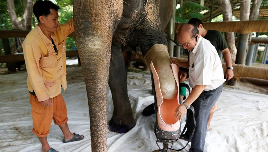 """A moda da """"botinha"""" de Mosha pegou: esse outro elefante, chamado Motola, se machucou em um acidente parecido, mas ainda mais grave. Foi o segundo elefante da história a receber uma perna artificial."""