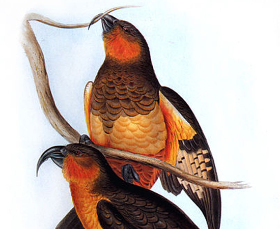 Norfolk Kaka (Nestor productus) - extinto por volta de 1800.