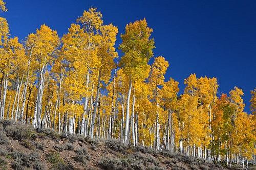 Essa árvore é comum nas partes mais frias dos Estados Unidos. Mais do que a beleza das folhas, o que espanta mesmo está debaixo da terra. É que no estado norte-americano de Utah, incontáveis dessas árvores dividem as mesmas raízes, sendo portanto o mesmo organismo. E o mais pesado do planeta, com cerca de 6 mil toneladas.