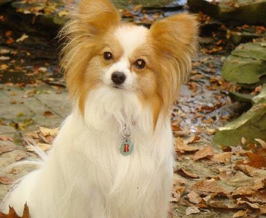 8º lugar - SPANIEL ANÃO CONTINENTAL - É uma raça muito possessiva e agressiva, apesar do pequeno porte. Esses cães são conhecidos pela grande capacidade de afeição.