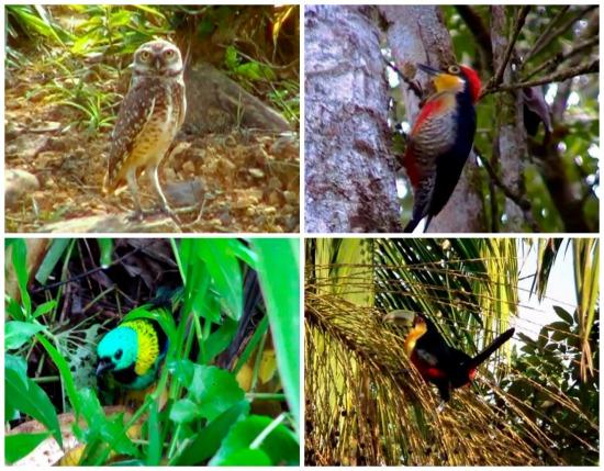 Abrangendo a costa brasileira e partes da Argentina e do Paraguai, a Mata Atlântica passou por intenso desmatamento durante a colonização. Mesmo assim, ainda é habitat para muitas aves. Conheça 15 delas.
