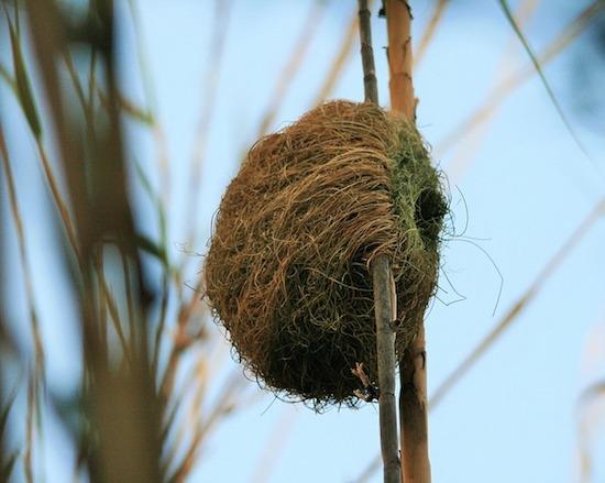 Esses pássaros tecelões da Namíbia fazem seus ninhos usando finas tiras de folhas ainda verdes. Com a exposição ao sol, as folhas secam em pouco tempo, endurecendo o ninho e tornando-o um lugar seguro para depositar os ovos.