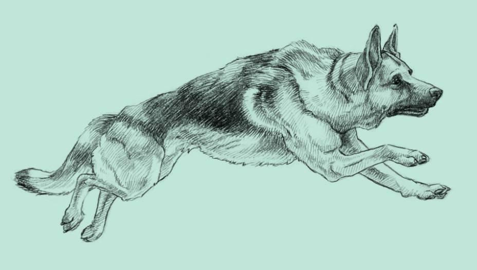 Em 1899, um oficial aposentado da cavalaria alemã, Max von Stephanitz, comprou um cão, batizou-o com o nome pomposo de Horand von Grafrath e registrou-o como o primeiro pastor alemão da Terra. Estava dada a largada para a raça canina mais numerosa do mundo. Parte da popularidade dos pastores vem da vocação de Von Stephanitz para propagandear os talentos da cria. O militar reformado ofereceu, em 1914, alguns descendentes de Von Grafrath ao Exército alemão.E eles fizeram de tudo no front da Primeira Guerra: levavam recados de um campo a outro, eram vistos carregando rádios no lombo e agiam como batedores. Ao final do conflito, nada menos que 48 mil pastores haviam servido nas batalhas. O talento serviçal desses cães chamou a atenção das tropas aliadas, que passou a adotar pastores também. Um deles, chamado Strongheart e nascido em 1917, virou um dos primeiros astros caninos da história. Depois veio outro astro pastor famoso: Rin Tin Tin. Rinty, como era chamado por seu dono, o soldado americano Lee Duncan, que o resgatou do front, foi personagem de27 filmes. Era tão popular que quase levou o Oscar de melhor ator em 1929 (teve a maioria dos votos, mas a Academia não aceitou a brincadeira). Nem a presença de um pastor alemão no QG de Adolf Hitler abalou o sucesso da raça. Blondi, o pastor do Führer, esteve com o ditador até momentos antes da sua morte – Hitler o matou antes de cometer suicídio. Esse passado militar, de qualquer forma, continua bem vivo. O pastor é a raça mais usada pelas polícias, já que é tão forte quanto fácil de adestrar - treinadores dizem que você pode ensinar tudo para um pastor, com a vantagem de que ele se arrisca mais do que seus colegas bípedes.