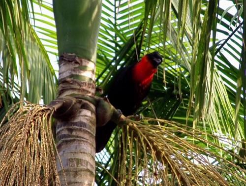 Habitante das florestas, o Pavó se alimenta de frutos e artrópodes.