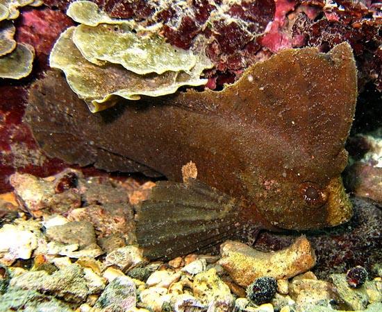 Ablabys taenianotus - Esse peixe é bem lento, mas sua tática de sobrevivência é bastante desenvolvida. Graças à aparência exótica, seus predadores o confundido com folhas mortas. Por isso, ele se deixa levar pela corrente marítima, sem preocupação.