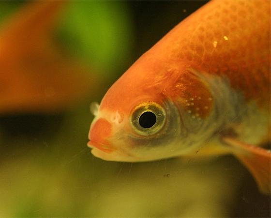 Os peixinhos-dourados ficam pálidos se mantidos em um ambiente com má iluminação. Como os humanos, eles também precisam de luz solar para manter o bronze. Ou melhor, o ouro. No caso deles, isso acontece por causa dos cromatóforos, células que armazenam pigmentos.