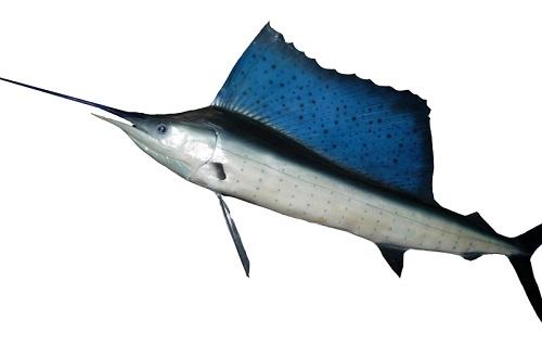 O agulhão-vela é o mais rápido das águas. O peixe atinge 110 km/h.