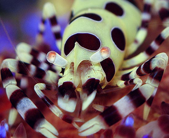 Periclimenes colemani - Apesar exibir cores vibrantes, esse camarão consegue se disfarçar como ninguém. É que ele vive com ouriços-de-fogo - animais extremamente perigosos (mas que não oferecem risco ao camarão) e que possuem cores e formas semelhantes às suas.