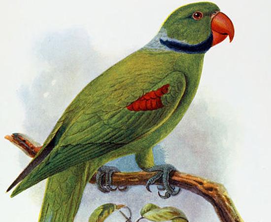 Periquito-das-Seychelles (Psittacula wardi) - extinto por volta de 1900.