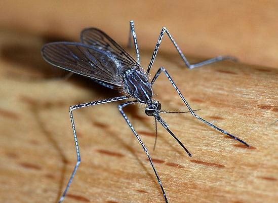 O inseto atormenta a vida de quem mora perto de rios. É que as fêmeas põem seus ovos sempre na água. Adulto, o pernilongo ganha asas e faz voos noturnos para sugar nosso sangue.