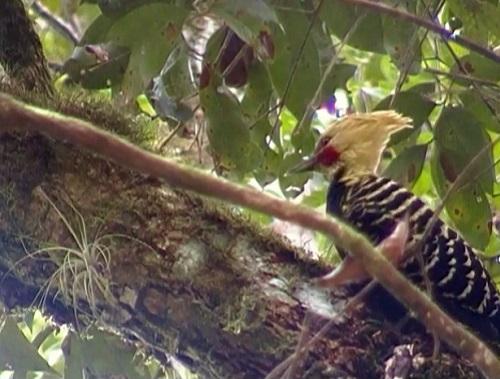 Esse pássaro é o pica-pau-de-cabeça-amarela, que vive em florestas e plantações.