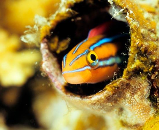 Plagiotremus rhinorhynchos - Esse peixinho que vive no Pacífico e no Índico tem a capacidade de mudar suas cores para se camuflar em corais e se esquivar de predadores. O disfarce também o torna um bom predador.