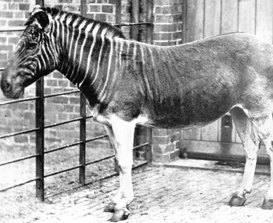 Quagga (Equus quagga quagga) - extinto em 1883.
