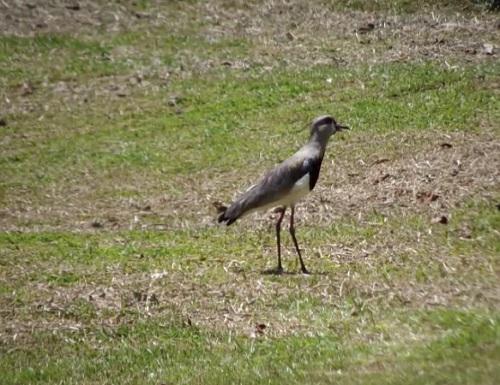 O quero-quero pode ser encontrado em campos, pastagens e capinzais. O pássaro tem entre 35 e 40 centímetros.