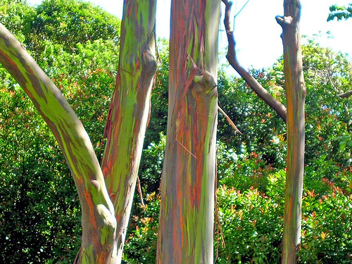 O Eucalipto Arco-Íris definitivamente merece esse nome. É que o tronco da árvore tem diversas cores. Essas árvores podem atingir quase 80 metros de altura.
