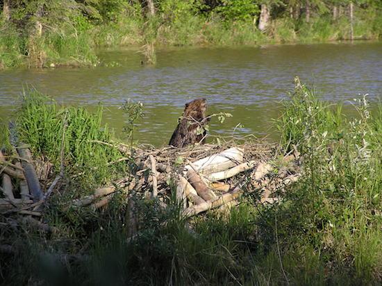 Os castores são famosos por construírem represas de madeira em rios. Eles fazem isso como uma forma de proteger suas casas, também construídas no meio dos rios.