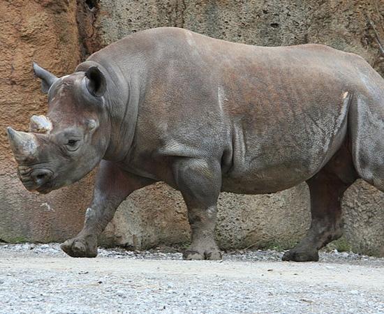 Rinoceronte Negro do Oeste Africano (Diceros bicornis longipes) - extinto em 2011.