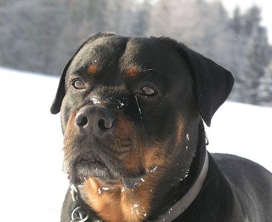 9º lugar - ROTTWEILER - É uma raça extremamente corajosa e protetora. Ótima opção para cães de guarda.