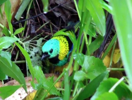 O saíra-sete-cores mede cerca de 15 centímetros e se alimenta de frutos.